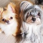 犬マラセチア