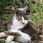 猫甲状腺機能亢進症