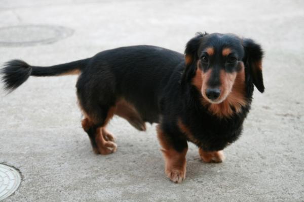 犬ヘルニア