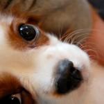 犬フィラリア