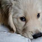 大型犬治療費