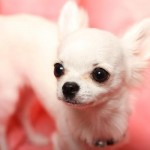 犬の結膜炎について症状や治療方法などをご紹介