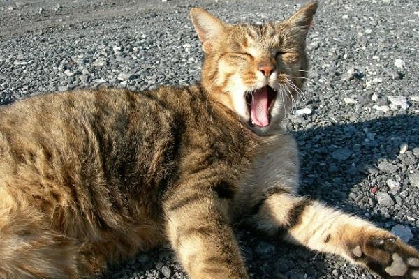 猫 口内炎