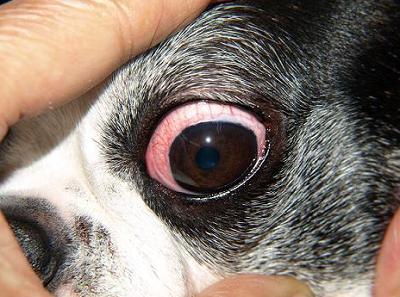 犬 結膜炎