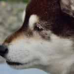 犬甲状腺機能亢進症