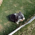 犬の甲状腺機能低下症