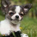 チワワの飼い方やかかりやすい病気まで一挙ご紹介!