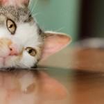 猫の心臓病