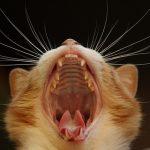 猫 歯肉炎